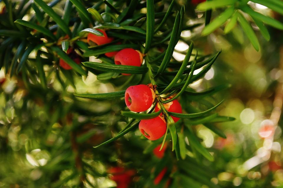 Yew Europeo, Tasso, Ramo Di Ago, Taxus Baccata