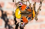peacock butterfly, peacock, butterfly