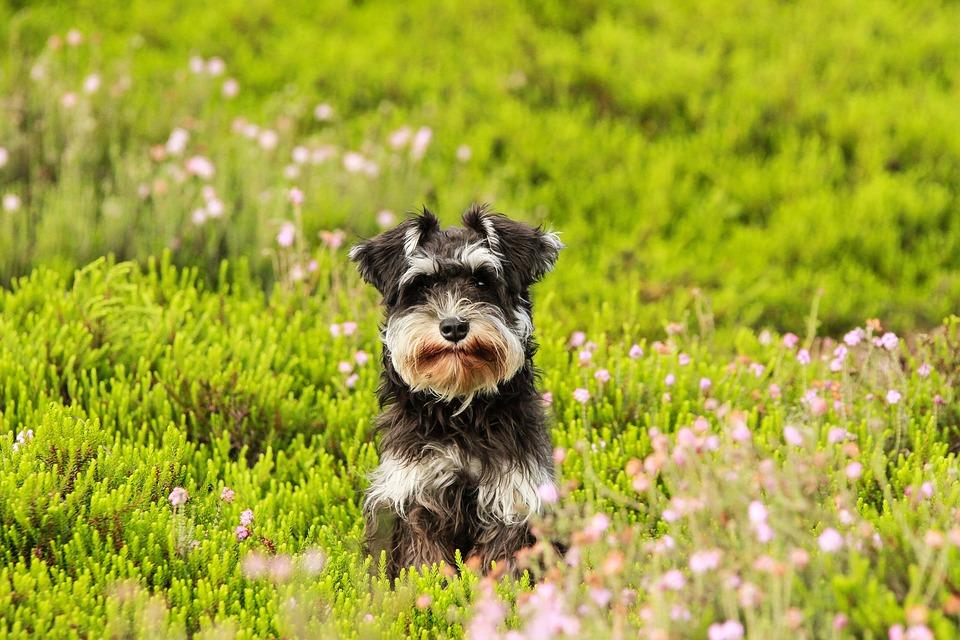 犬, ハイデ, 草, シュナウツァー, 子犬, グリーン, 自然, 春, 動物