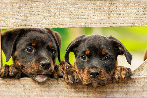Rottweiler Puppy Dog Dogs Cute Animal Anim