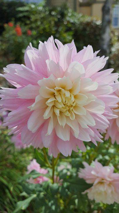 dahlia rose pale