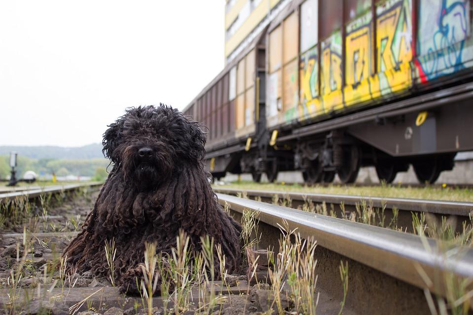 hund i tog