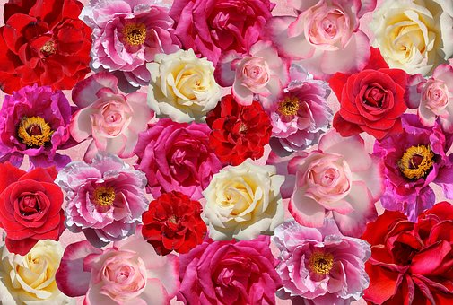 Roses, Flowers, Love, Red, Pink, Nature,Know more about the days leading up to Valentine's day like Rose Day, Chocolate day and Anti-Valentine's day like break up day, slap day and more.