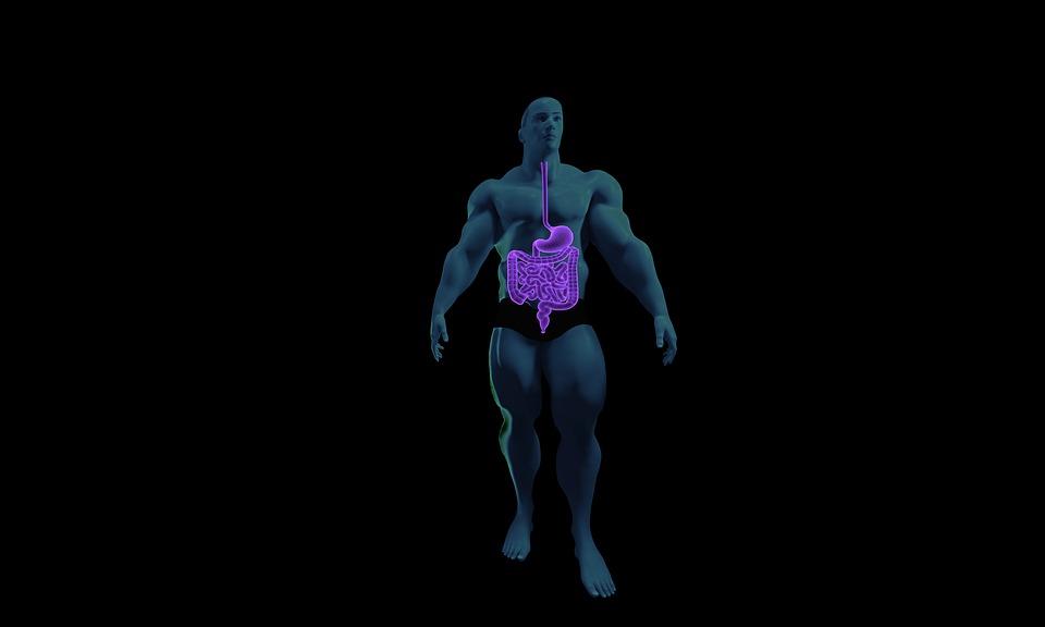 Verdauungssystem Anatomie · Kostenloses Bild auf Pixabay