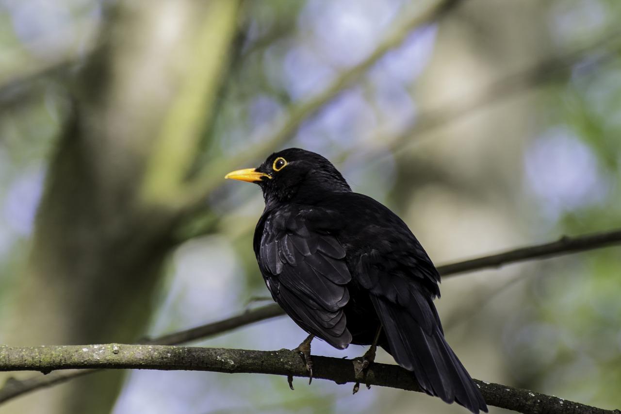 уголок чистой черные птицы имена и фото передачу