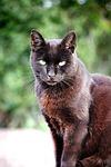 cat, black, pet