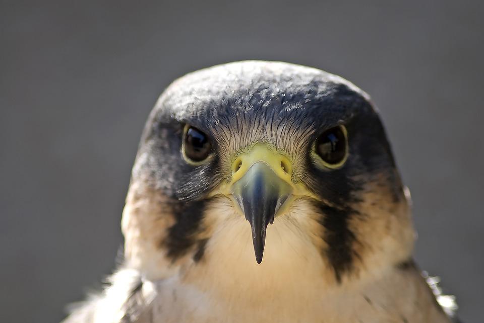 falcão peregrino pássaro bico foto gratuita no pixabay