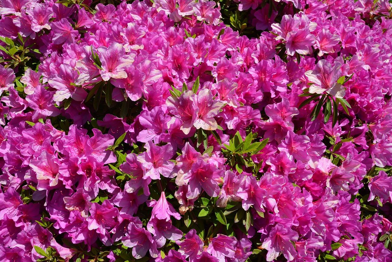 цветок азалия картинка чтобы крупные