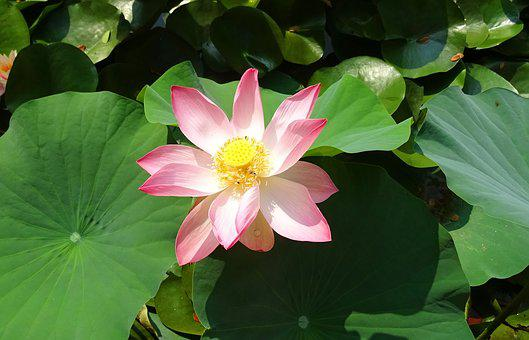 Lotus, Flower, Pink, Nelumbo, Nucifera