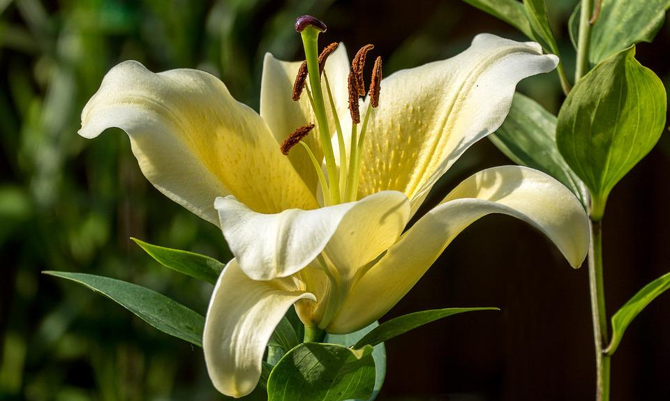 free photo lily, flower, nature, white, garden  free image on, Beautiful flower