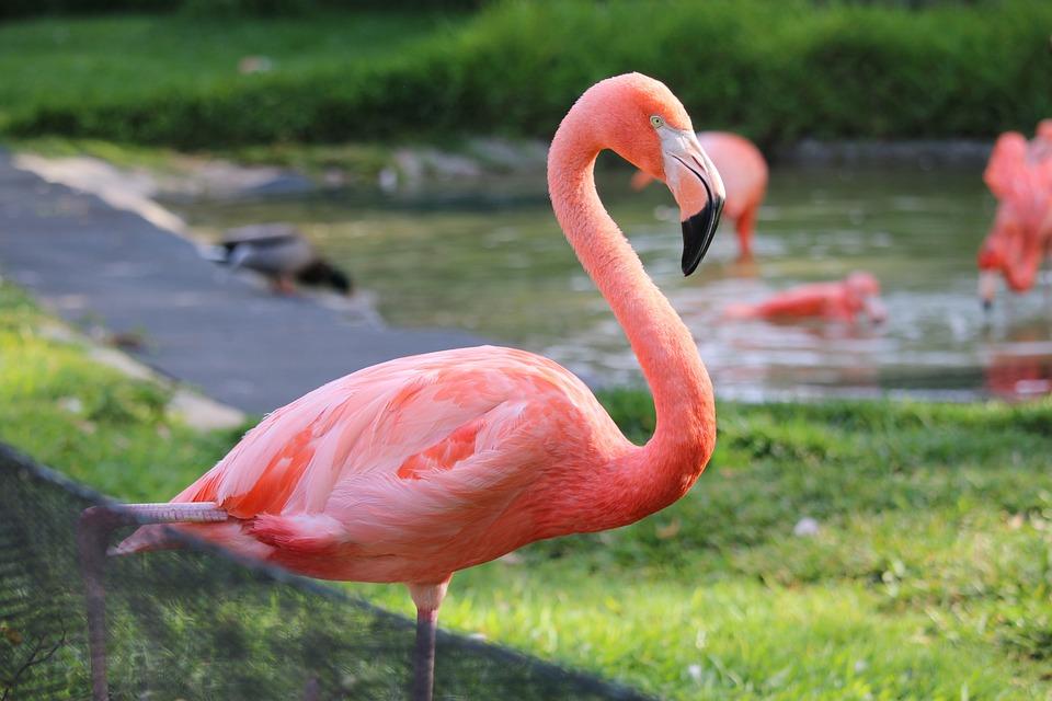 Flamingo, San Diego, Zoo, Bird, Tropical, California