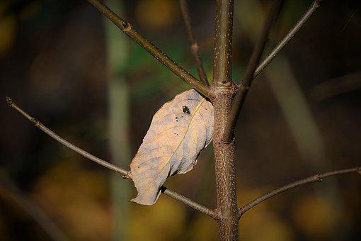 Withered Leaf, Dry, Autumn, Branch