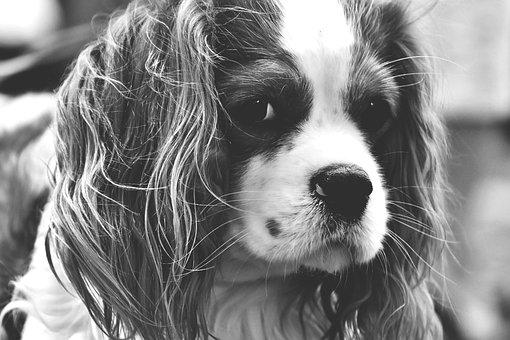 Dog, Cavalier King Charles Spaniel