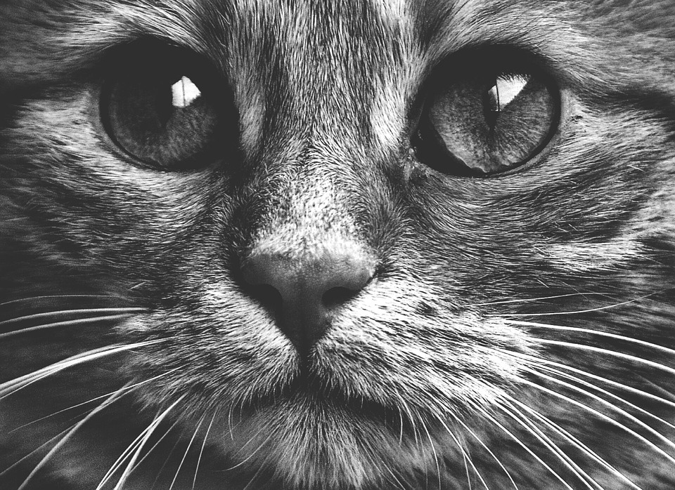 Black And White Cat Images Pixabay Download Free Pictures