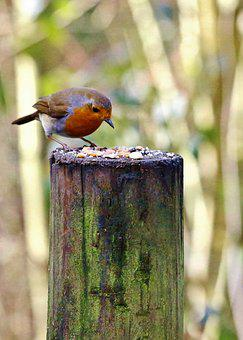 Robin, Bird, Nature, Red, Small