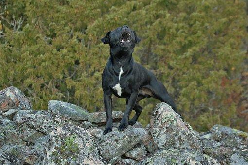 Patterdaleterrier, Terrier, Dog