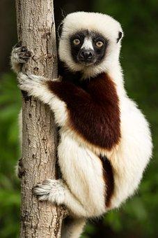 Lemur, Wildlife, Madagascar