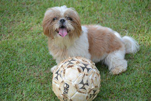 Shih Tzu, Animal, Ball, Grass, Dog