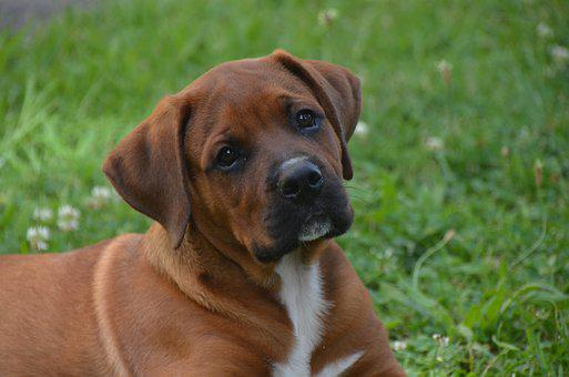 Boxer Puppies For Sale in Michigan