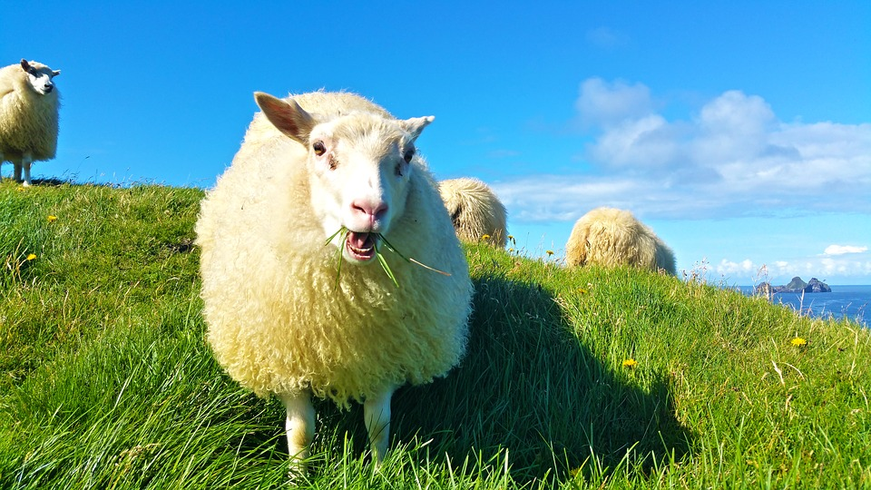 Sheep, Iceland, Grass, Wool, Lamb, Grazing, Pasture