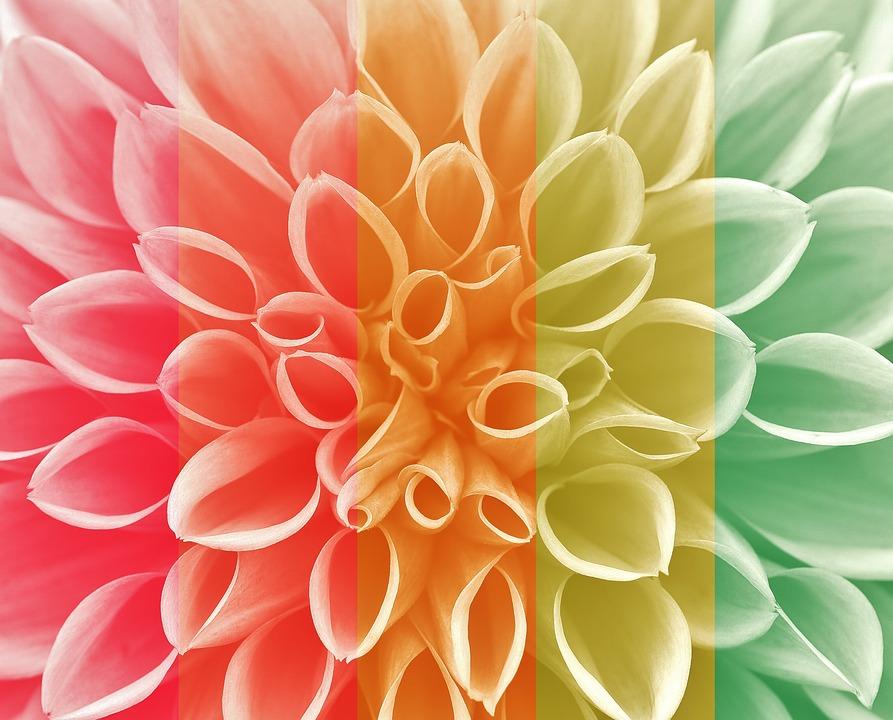 ダリア 秋 キク科 花庭 装飾花 ダリアの庭 花 庭 フローラ 植物