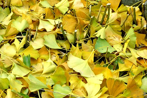 ginkgo leaves images pixabay download free pictures