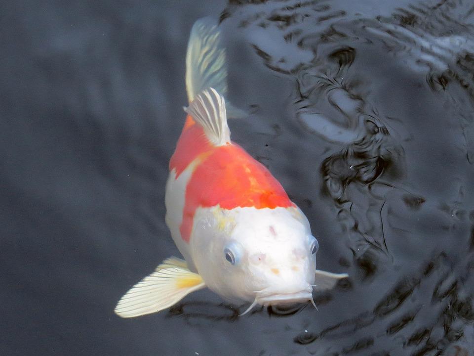 Koi carp fish free photo on pixabay for Koi carp pond