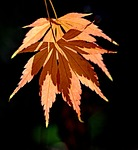 leaf, autumn, fall