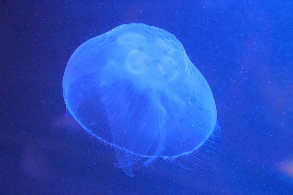 Fabuloso Medusa Mar Oceano Água · Foto gratuita no Pixabay KY06
