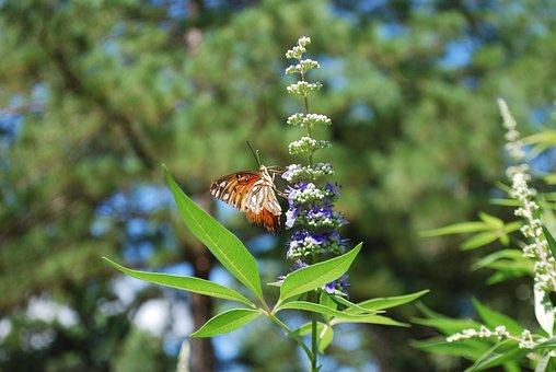 Butterfly, Vitex, Chaste, Tree, Leaves