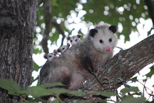 Possum Opossum Animal Young Wild Wildlife