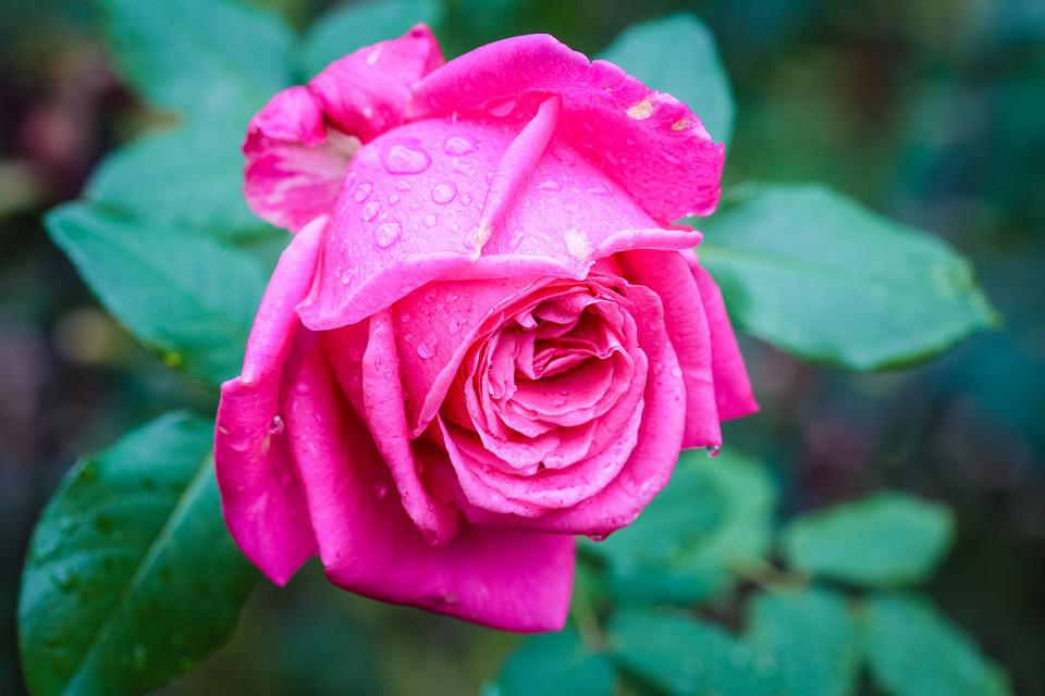 Flora Rose Drops 183 Free Photo On Pixabay