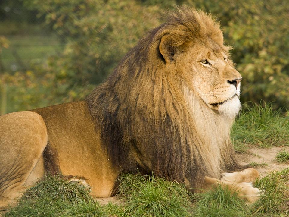 Photo gratuite sauvage lion king jeu pr dateur - Photos de lions gratuites ...