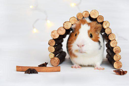 Guinea Pig, Pig, Animal, Pet, Cute