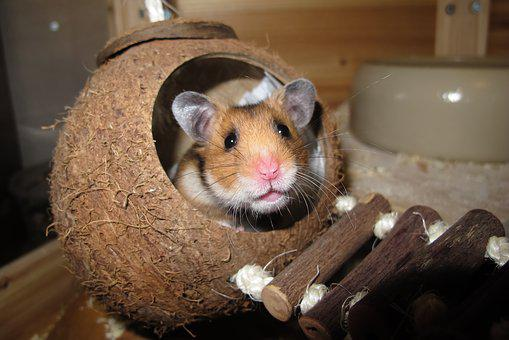 Hamster Coconut Sleep Nest Rest Animal Ani