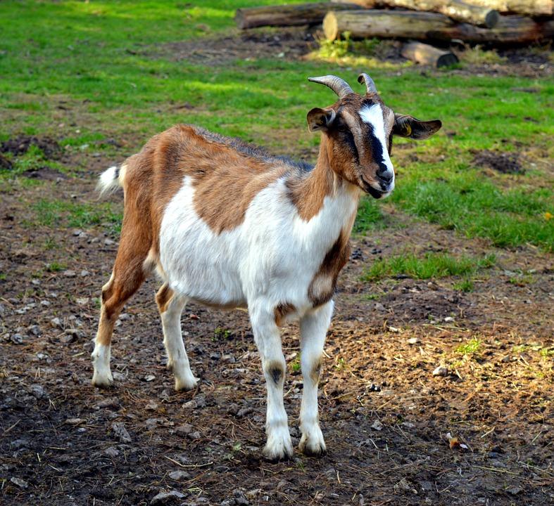 Goat, Billy Goat, Goatee, Goat Buck, Horned, Fur, Bock