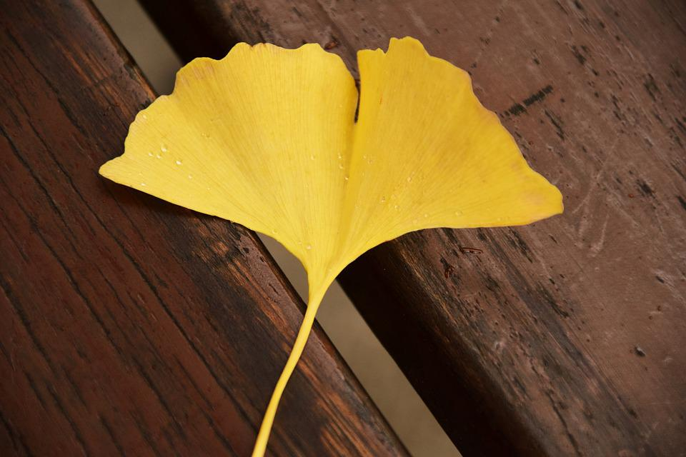 Ginkgo Leaf Yellow Autumn