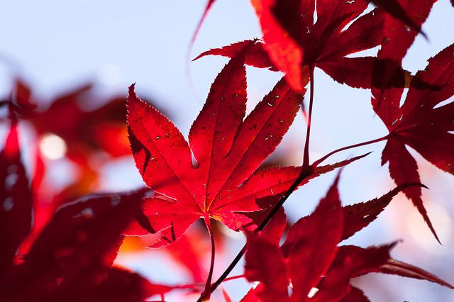 Free Photo: Maple, Autumn, Leaf, Red, Leaves