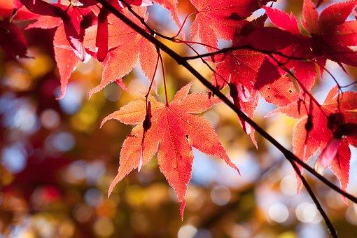Αποτέλεσμα εικόνας για maple