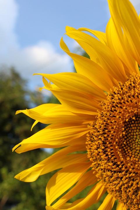 Bunga Matahari Warna Kuning Foto Gratis Di Pixabay