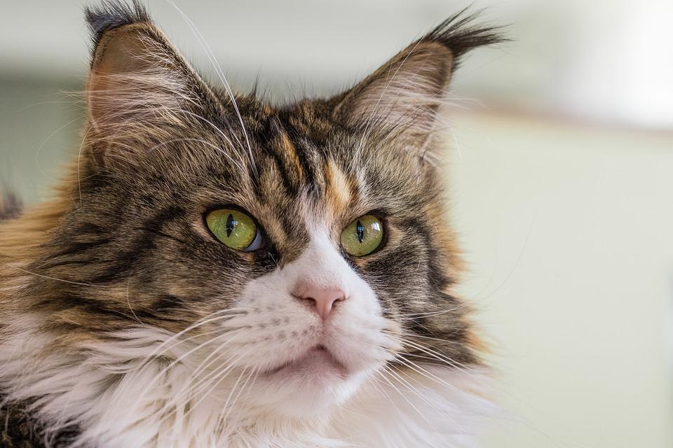 2c74ab6c2 Mačka Plnokrvník Domáca - Fotografia zdarma na Pixabay
