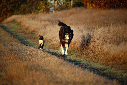 Dog, Cat, Away, Walk, Border Collie
