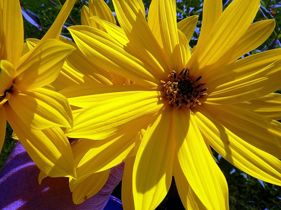 fiori gialli tipo girasoli
