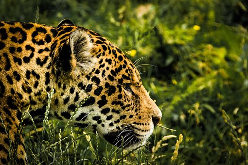 Jaguar, Wild Cat, Mammal, Zoo, Feline