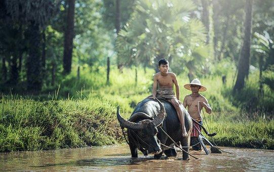 Water Buffalo, Riding, Farm, Farmer