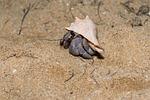 crab, hermit crab