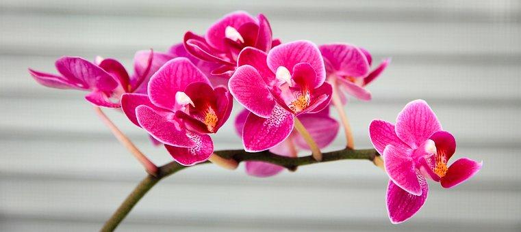Orquídea, Rosa, Flora, Flor