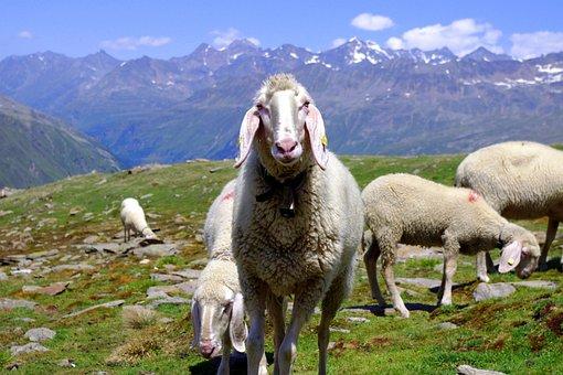 Tiere, Schafe, Natur, Bergschaf