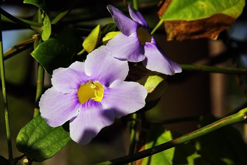 Ipomee Fleur Violette Plante Photo Gratuite Sur Pixabay