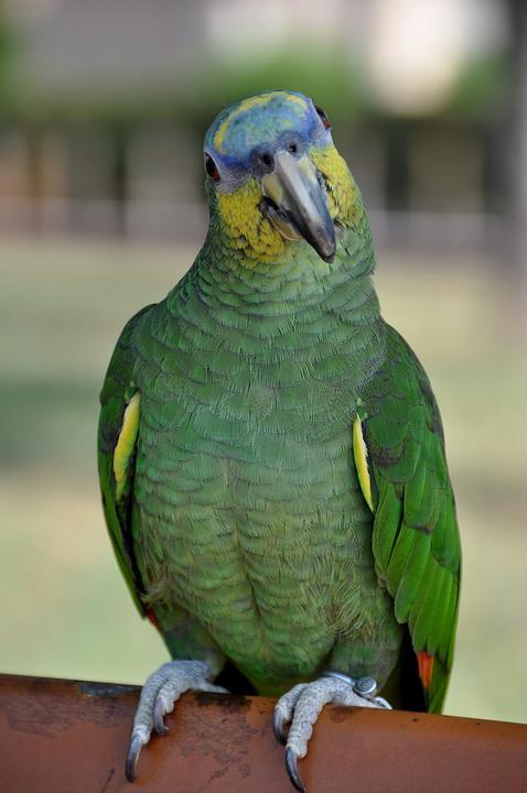 parrot green yellow free photo on pixabay